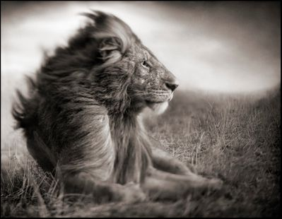 Lion-Before-Storm-II---Sitting-Profile.jpg