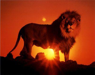 animal lion 59