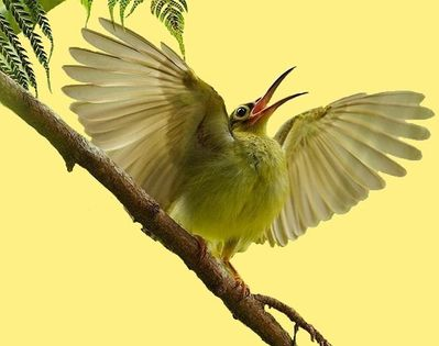 animal oiseau spiderhunter 00 art