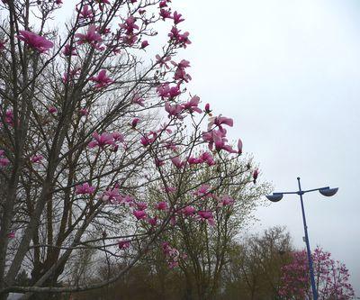 magnoliar.JPG