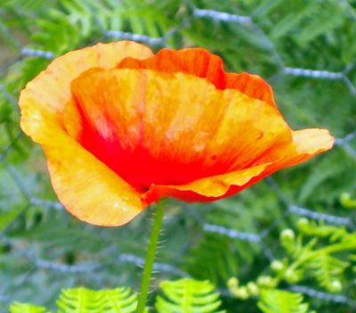 coquelicot-a-peindre-4.jpg