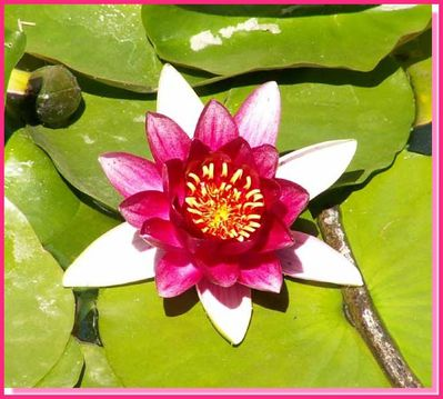 Fleur de lotus-cadre