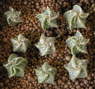 Photo gratuite : Astrophytum capricorne 
