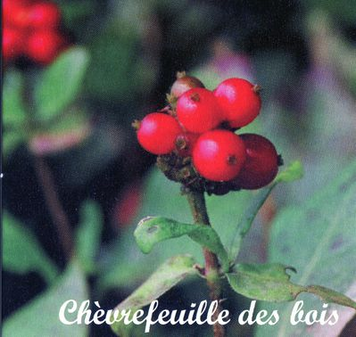 chèvrefeuille161