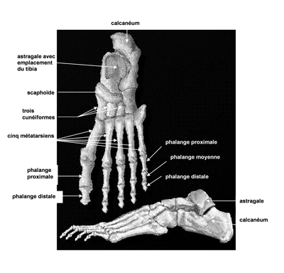 The skeleton of the foot - theoretical training foot reflexology