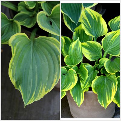 HOSTA-MAGIC-FIRE.jpg