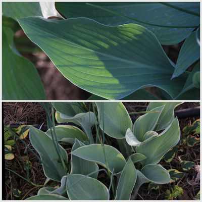 HOSTA-REGAL-SPLENDOR--002.jpg