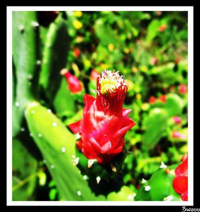 Fleurs-de-cactus-1594.JPG