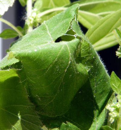 feuilles-cousues-chenille-vulcain