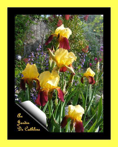 iris jaune et pourpre