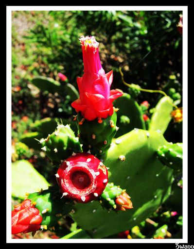 Fleurs-de-cactus 1604