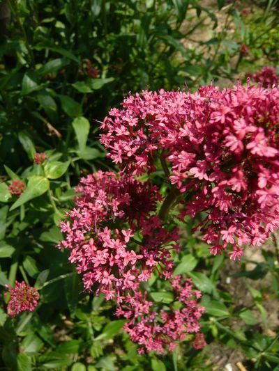 Floraison Centranthus ruber Silvère Doumayrou