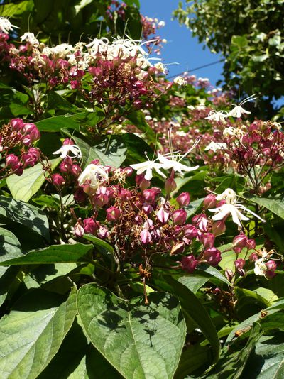 Clerodendron trichotonum