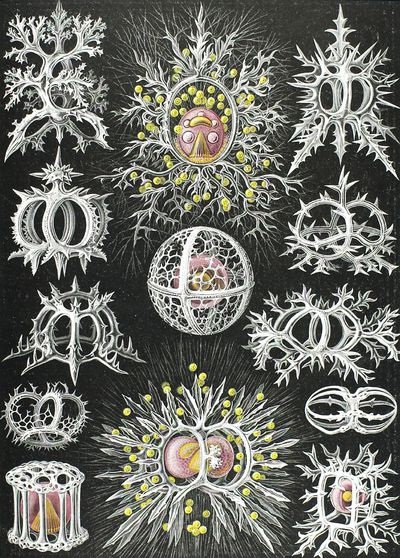 Haeckel 1834-1919, Ernst, Germany Stephoidea