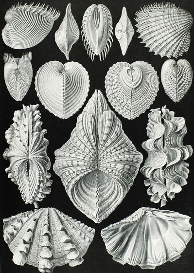 Haeckel 1834-1919, Ernst, Germany Acephala