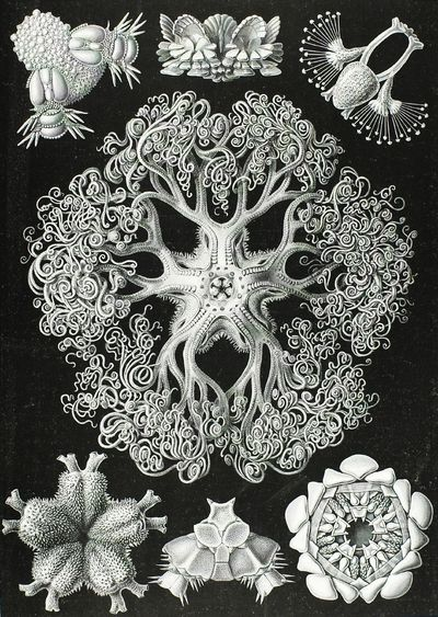 Haeckel 1834-1919, Ernst, Germany Ophiodea