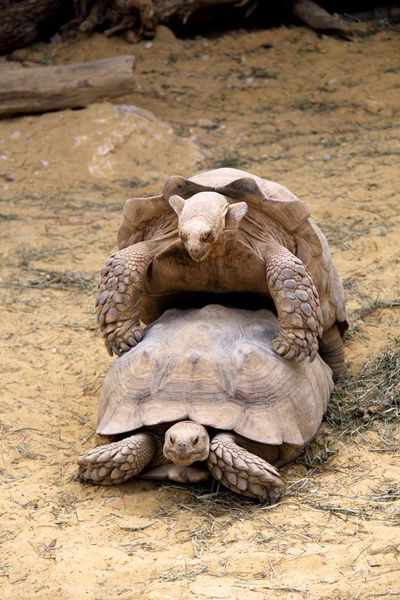 coit-de-tortues-en-reproduction-copie-1.jpg