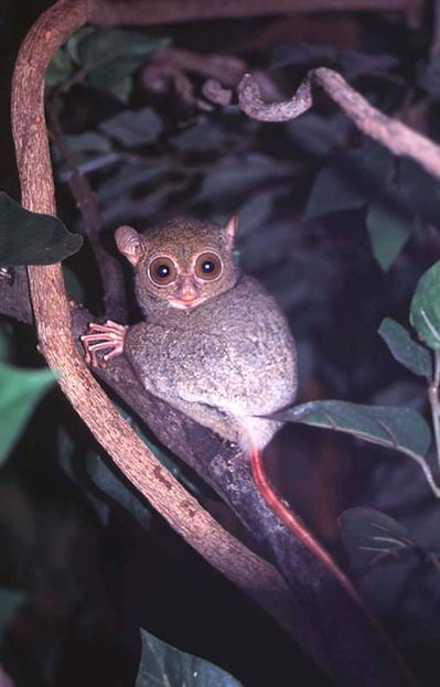 Tarsius_bancanus.jpg