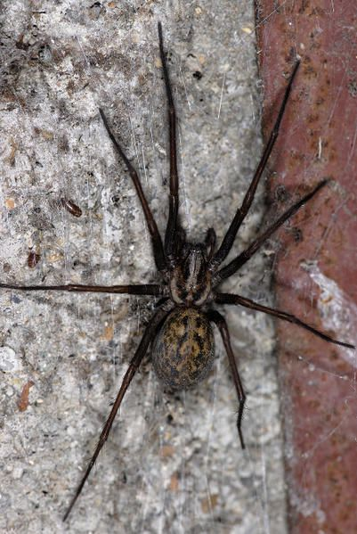 Arachides araign es etc epeire fasci e araign e for Araignees dans maison
