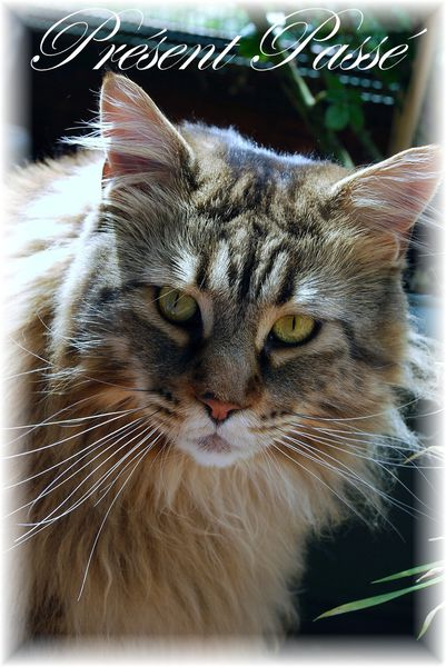 maine coon 41