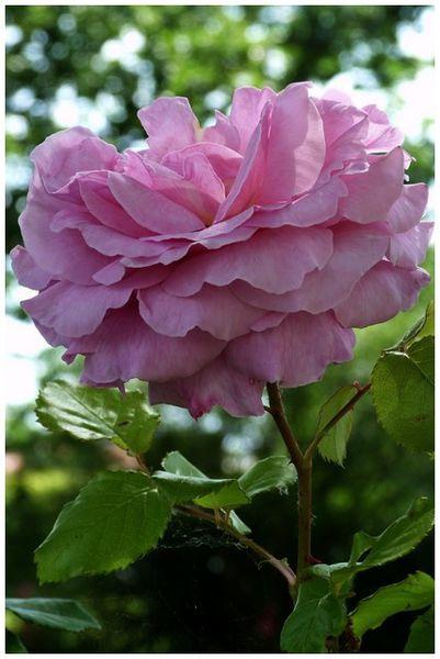 jolie-rose.jpg