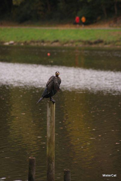 cormoran en bord de penfeld brest