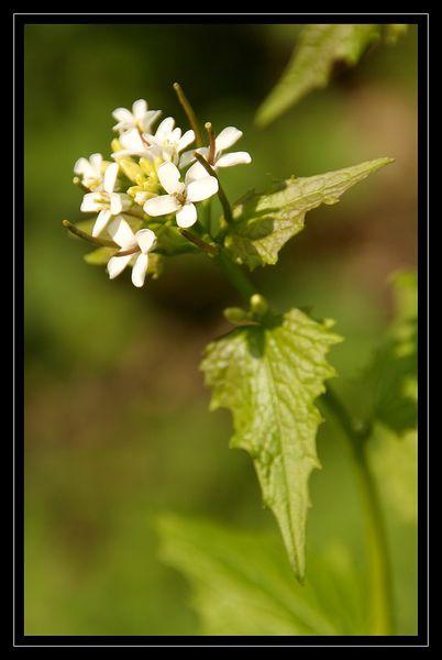 Alliaria petiolata 2