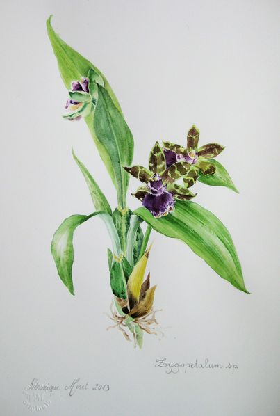 Zygopetalum-1-V-MORET.jpg