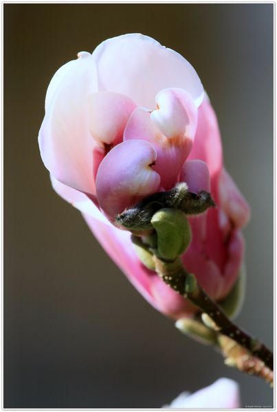 magnolia 3509
