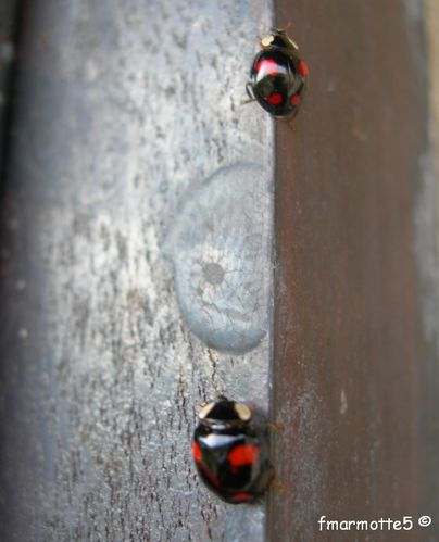 coccinelles inra 02
