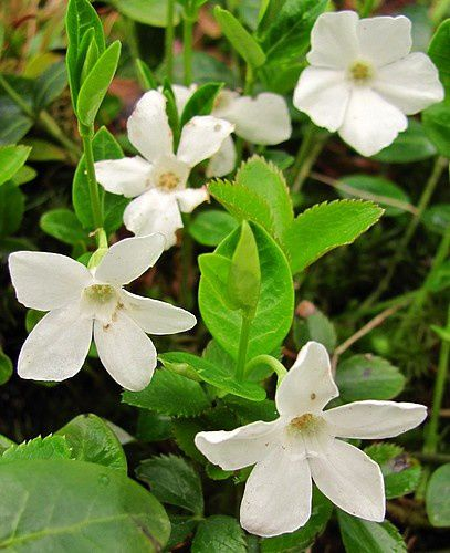 vinca-minor-Alba-4-avr-11.jpg