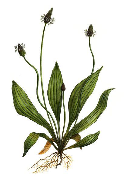Illustrations de plantes sauvages l 39 aquarelle le - Comment cuisiner les bananes plantain ...