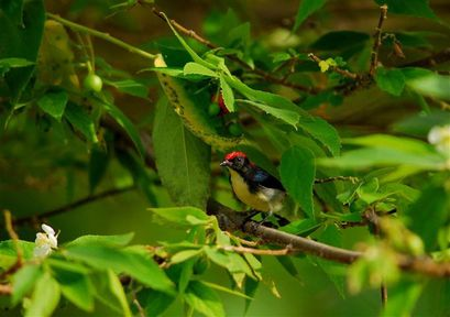 scarlet-backed-flowepecker-kho-phi-phi--Small-.jpg