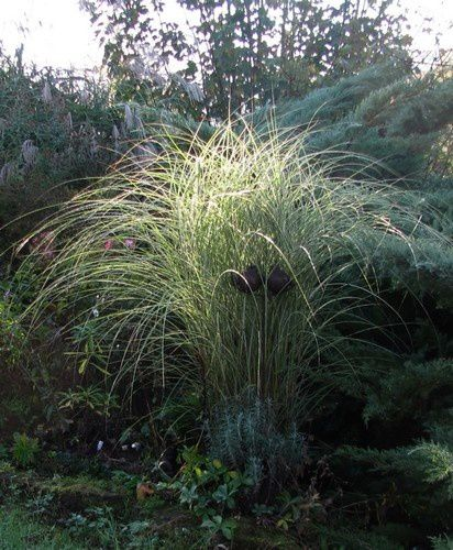 miscanthus-sinensis-Morning-Light-23-oct-14.jpg