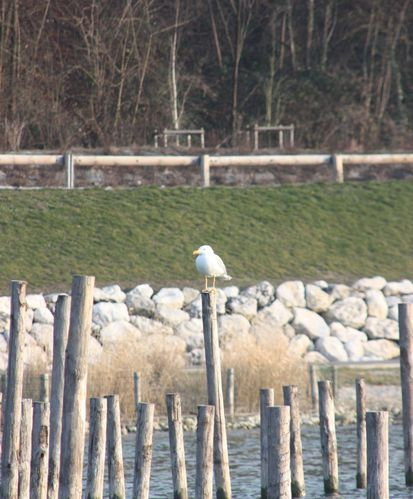 047-Mouette-perchee-jpg
