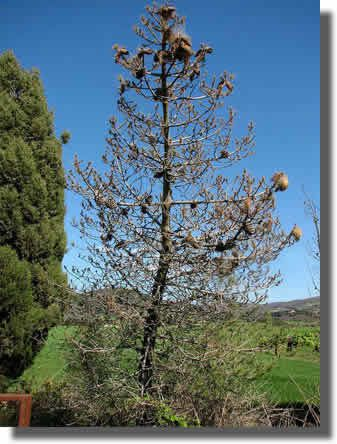 defoliation processionnaire pin