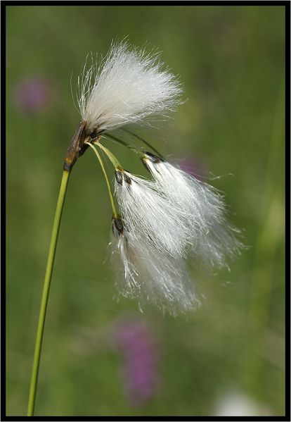Eriophorum-polystachion-681.jpg