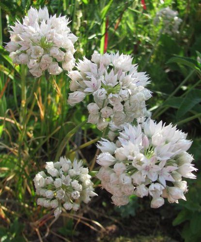 allium-amplectens-Graceful-12-juin-14.jpg