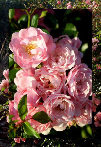 Roses d-automne 03 10 2011 bis