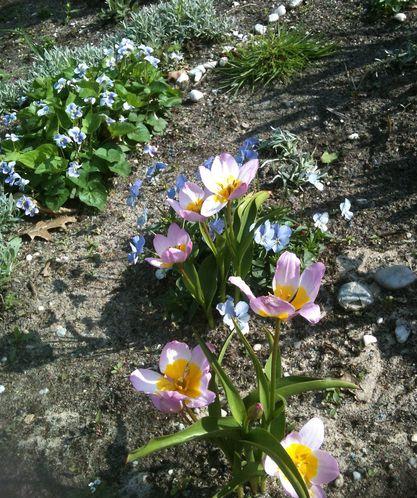 tulipes-et-violettes-sororia.jpg