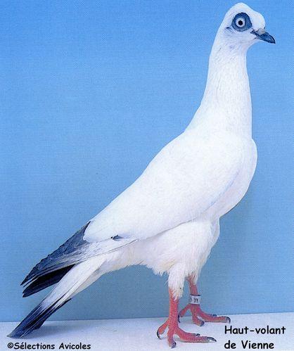 des principes rationnels pour le logement des pigeons basse cour et voli re. Black Bedroom Furniture Sets. Home Design Ideas
