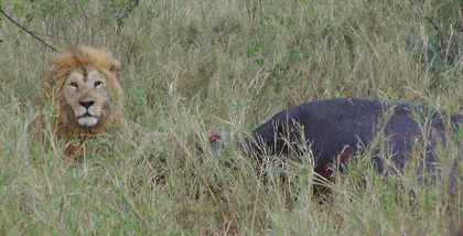 473-SERENGETI-Lion.JPG