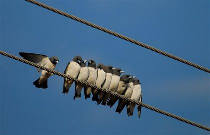 white-breasted-woodswallows-darwin--Small-.jpg