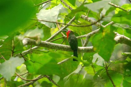 red-bearded-bee-eater-fh--Small-.jpg