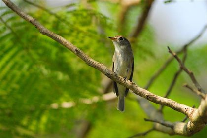 asian-brown-flycatcher-pres-ventiane--Small-.jpg