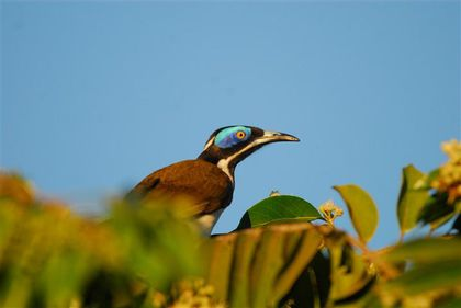 blue-faced-honeyeater-katherine--Small-.jpg