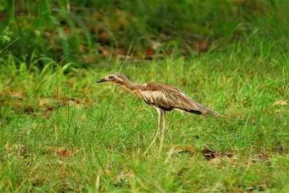 bush-stone-curlew-darwin--Small-.jpg