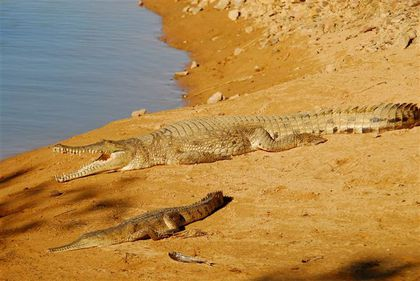 croco-johnston-vers-kununurra--Small-.jpg
