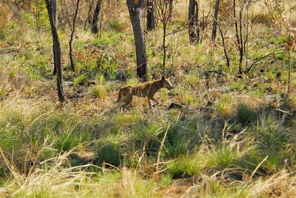 dingo route vers fitzroy crossing (Small)