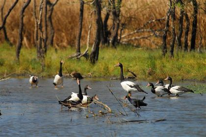 magpie-geese-parrys-lagoon--Small-.jpg